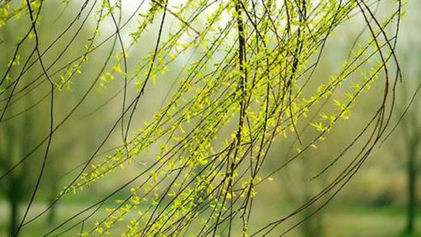 Willow tree profile