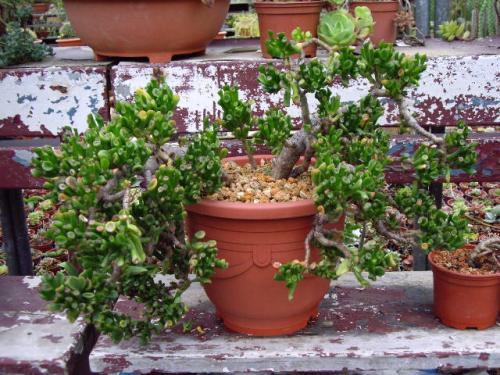 ade plant