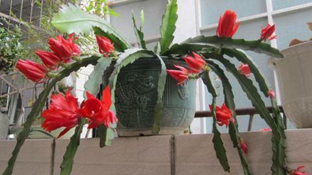 Red Orchid Cactus (Nopalxochia Ackermannii) Profile