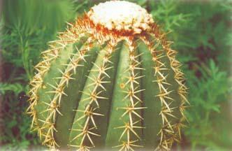 Turk's cap cactus
