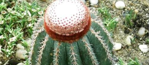 care for turk's cap cactus