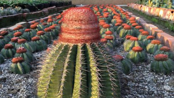 How to grow and care for turks cap cactus