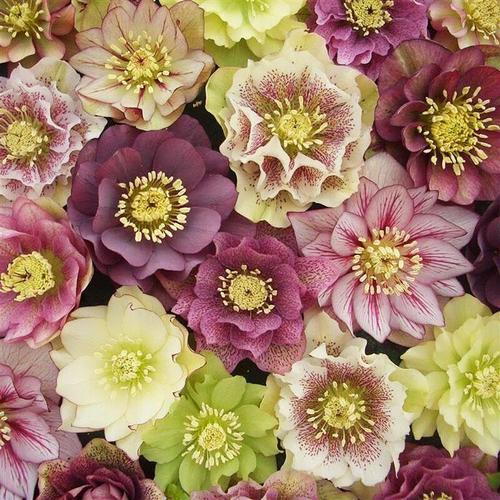 care for Christmas Rose