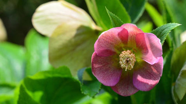 How to grow and care for Christmas rose