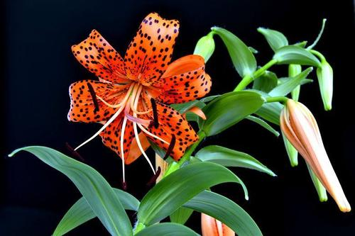 Common lily varieties