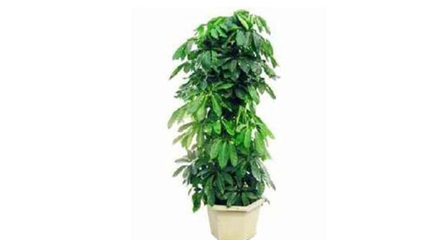 How to grow and care for money tree