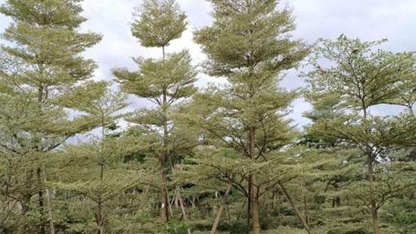 Terminalia Mantaly tree profile