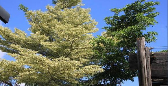 Terminalia Mantaly