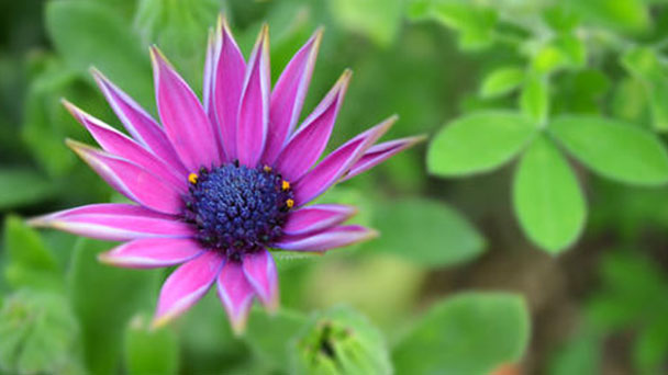 African daisies profile
