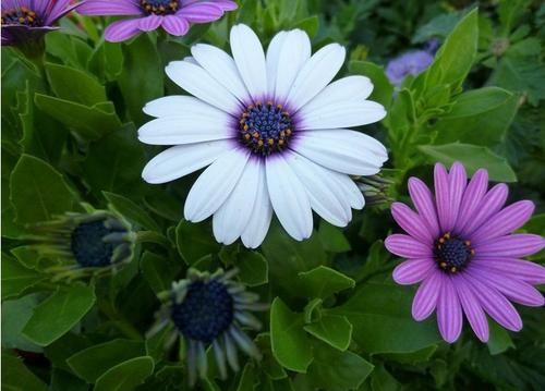care for African daisies