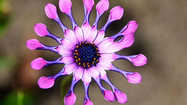 How to grow and care for African daisies