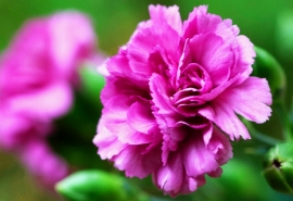 care for carnation