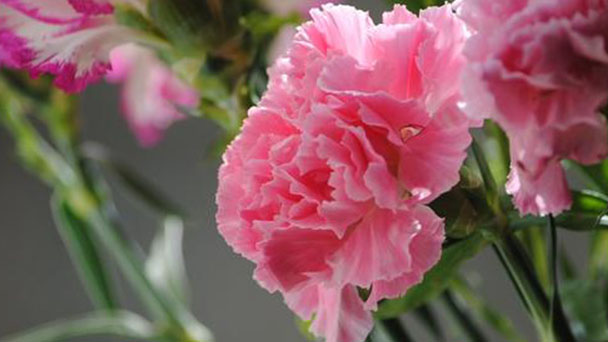 Carnation plant care