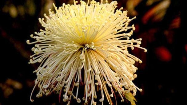 Mums (Chrysanthemum) profile
