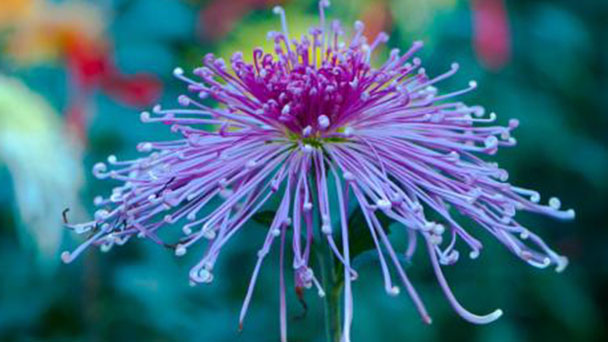 How to grow and care for mums (Chrysanthemum)