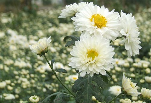 propagation methods of Chrysanthemum