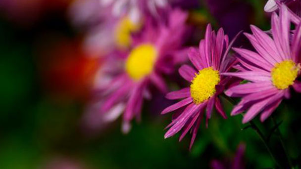 How to propagate mums
