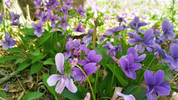 Purple flower violet profile