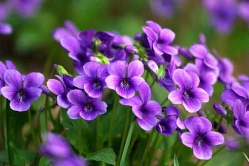 Purple flower violet