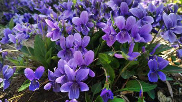 Purple flower violet care