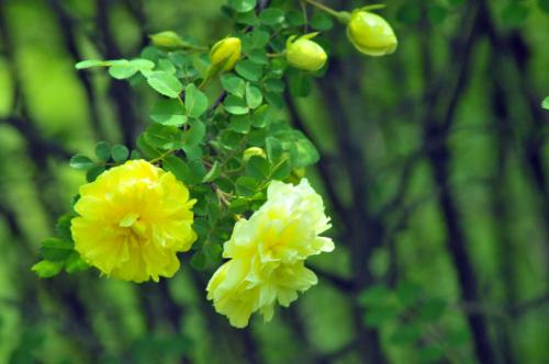 The 10 most beautiful roses in the world