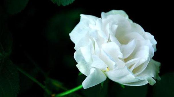 White rugosa rose profile