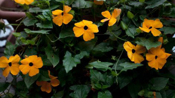 Black-eyed Susan vine: How to grow and care for it