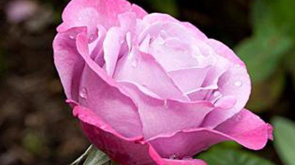Hybrid tea rose profile