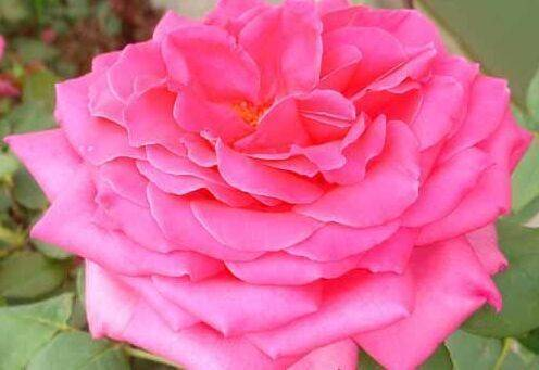 care for Hybrid tea rose