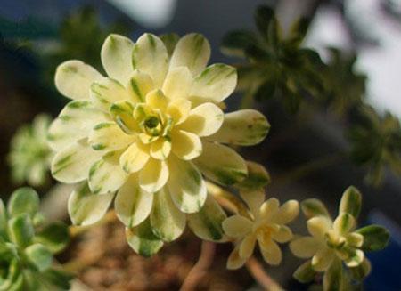Aeonium domesticum
