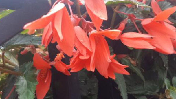Begonia Boliviensis: How to grow and care for it