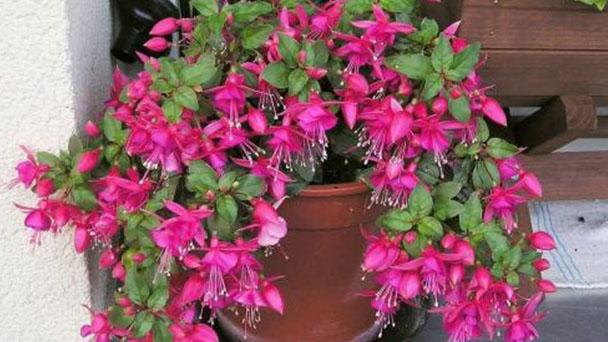 Fuchsia profile