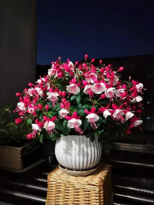 care for Fuchsia