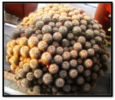Mammillaria prohjera
