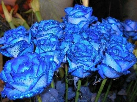Rosa Hybridda