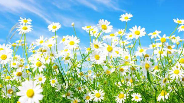 Chamomile: How to grow and care for it
