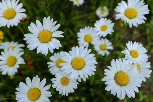 care for chamomile
