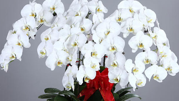 How to propagate moth orchids