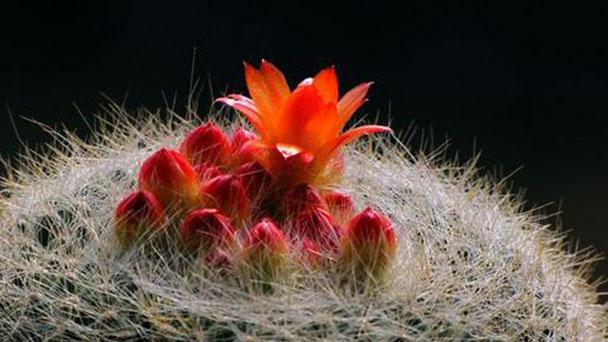 Notocactus haselbergii profile