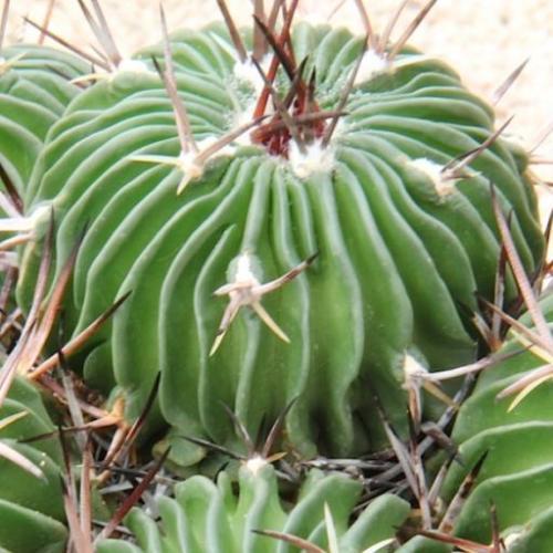 Stenocactus multicostatus