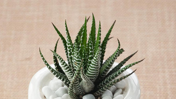Zebra Wart care-How to grow Haworthia reinwardtii