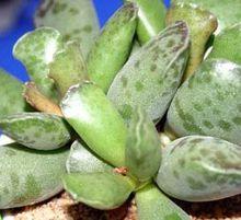 plover egg plant