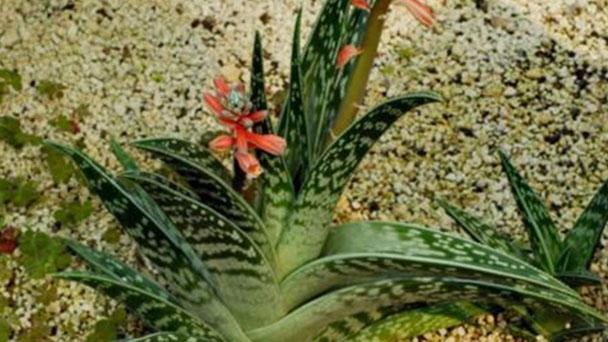 Tiger aloe-aloe variegata profile
