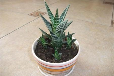 Tiger Aloe care
