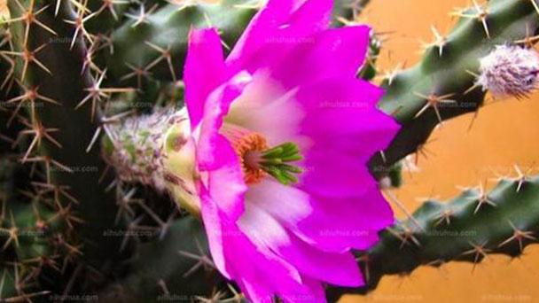 Echinocereus pentalophus (ladyfinger cactus) profile