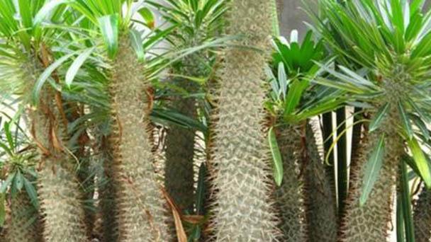 Madagascar Palm (Pachypodium Lamerei) Profile
