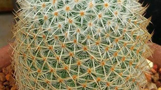 Mammillaria geminispina (twin spined cactus) profile