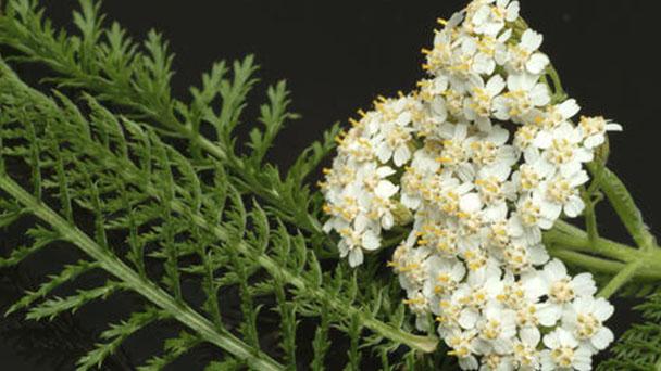Achillea millefolium (Yarrow) profile