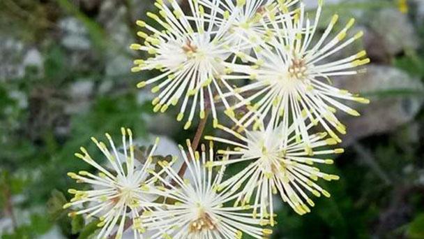 Thalictrum aquilegiifolium (Columbine meadow-rue) profile