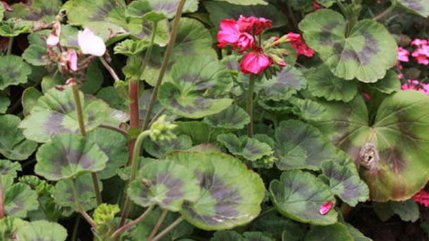 Horseshoe geranium (Pelargonium zonale) profile